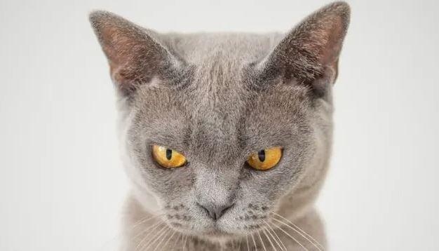 Zijn Brits Korthaar katten brachycephalisch