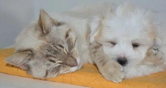 Zijn Brits Korthaar katten goed met honden