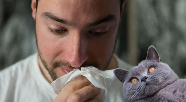 Zijn Brits Korthaar katten hypoallergeen