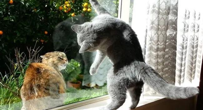 Zijn Brits Kortharen Katten Vriendelijk.