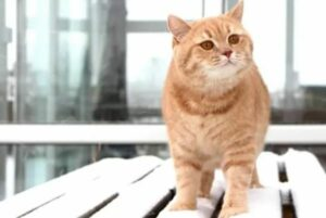 britse korthaar rode gember kat