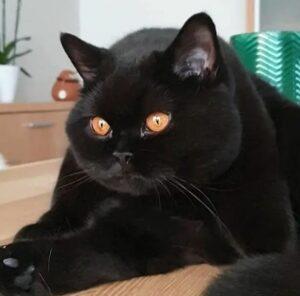 zwart brits korthaar
